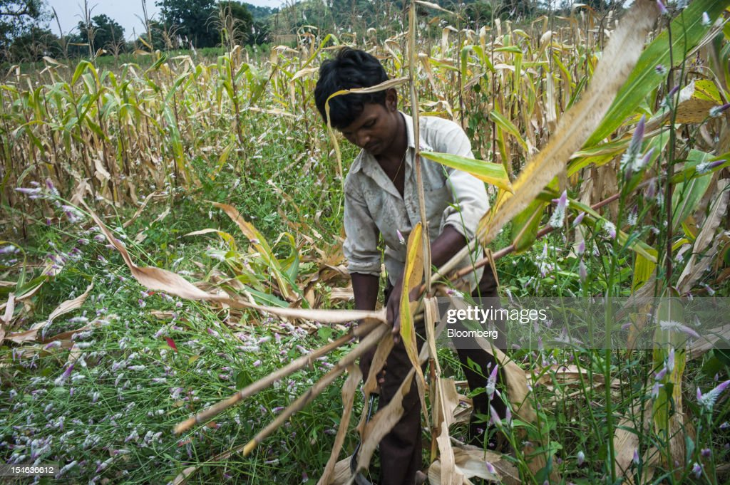 A day laborer cuts down corn crops after a harvest in a field in the district of Burhanpur, Madhya Pradesh, India, on Thursday, Oct. 18, 2012. India is Asia's biggest grower of corn after China. Photographer: Sanjit Das/Bloomberg via Getty Images