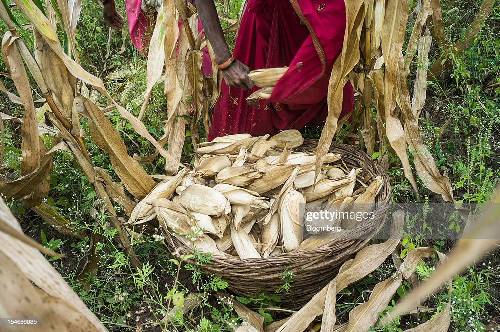 A day laborer fills her basket with harvested corn in a field in the district of Burhanpur, Madhya Pradesh, India, on Thursday, Oct. 18, 2012. India is Asia's biggest grower of corn after China. Photographer: Sanjit Das/Bloomberg via Getty Images