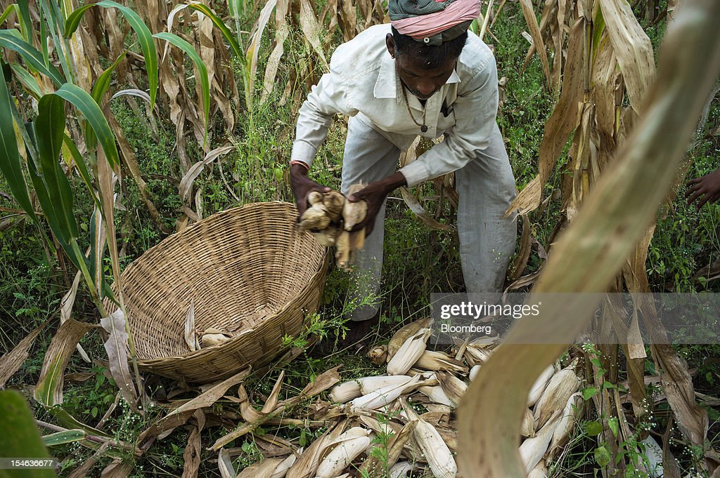 A day laborer fills his basket with harvested corn in a field in the district of Burhanpur, Madhya Pradesh, India, on Thursday, Oct. 18, 2012. India is Asia's biggest grower of corn after China. Photographer: Sanjit Das/Bloomberg via Getty Images