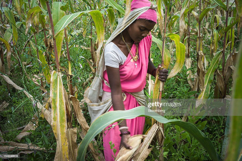 A day laborer harvests corn in a field in the district of Burhanpur, Madhya Pradesh, India, on Thursday, Oct. 18, 2012. India is Asia's biggest grower of corn after China. Photographer: Sanjit Das/Bloomberg via Getty Images