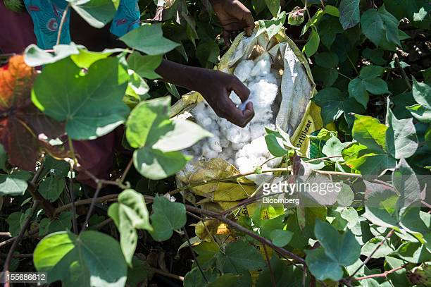 A day laborer harvests cotton on a farm in Umaid Nagar Rajasthan India on Monday Oct 29 2012 Cotton shipments from India the world's secondlargest...