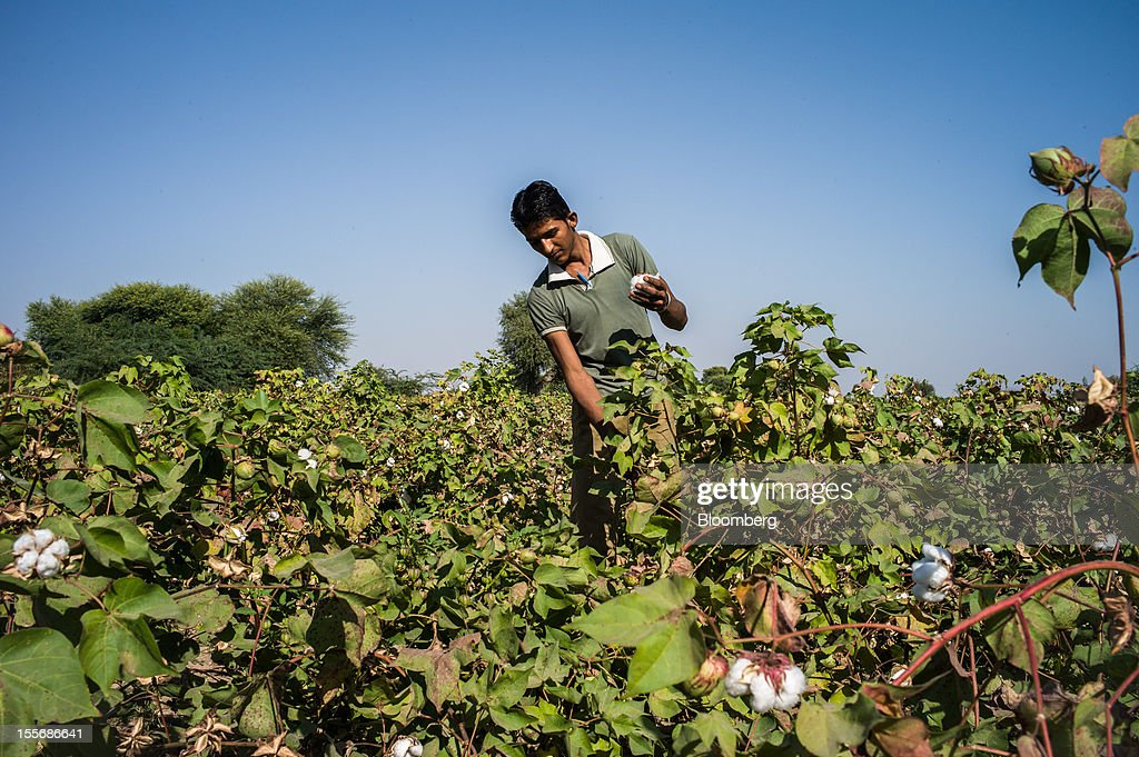 A day laborer harvests cotton on a farm in Umaid Nagar, Rajasthan, India, on Monday, Oct. 29, 2012. Cotton shipments from India, the world's second-largest grower, are set to tumble, forcing the government to make record purchases to stem a slide in prices. Photographer: Sanjit Das/Bloomberg via Getty Images
