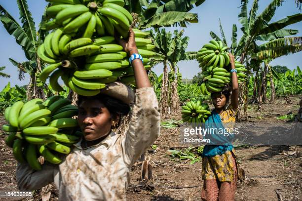 Day laborers carry bananas during a harvest in a field in the district of Burhanpur Madhya Pradesh India on Friday Oct 19 2012 India is the world's...