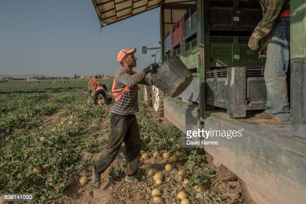 Day laborers collect mellons in a field of the agricultural region of El Campo de Cartagena on July 28 2017 in Los Alcazares Spain El Campo de...