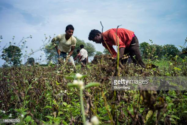 Day laborers cut soybean plants with sickles during a crop harvest at a farm in the district of Burhanpur Madhya Pradesh India on Thursday Oct 24...