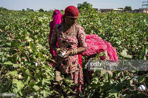 Day laborers harvest cotton on a farm in Umaid Nagar Rajasthan India on Monday Oct 29 2012 Cotton shipments from India the world's secondlargest...