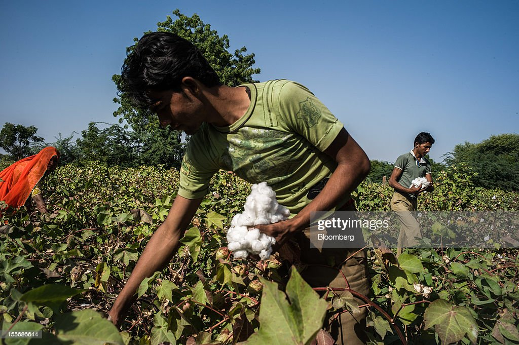 Day laborers harvest cotton on a farm in Umaid Nagar, Rajasthan, India, on Monday, Oct. 29, 2012. Cotton shipments from India, the world's second-largest grower, are set to tumble, forcing the government to make record purchases to stem a slide in prices. Photographer: Sanjit Das/Bloomberg via Getty Images