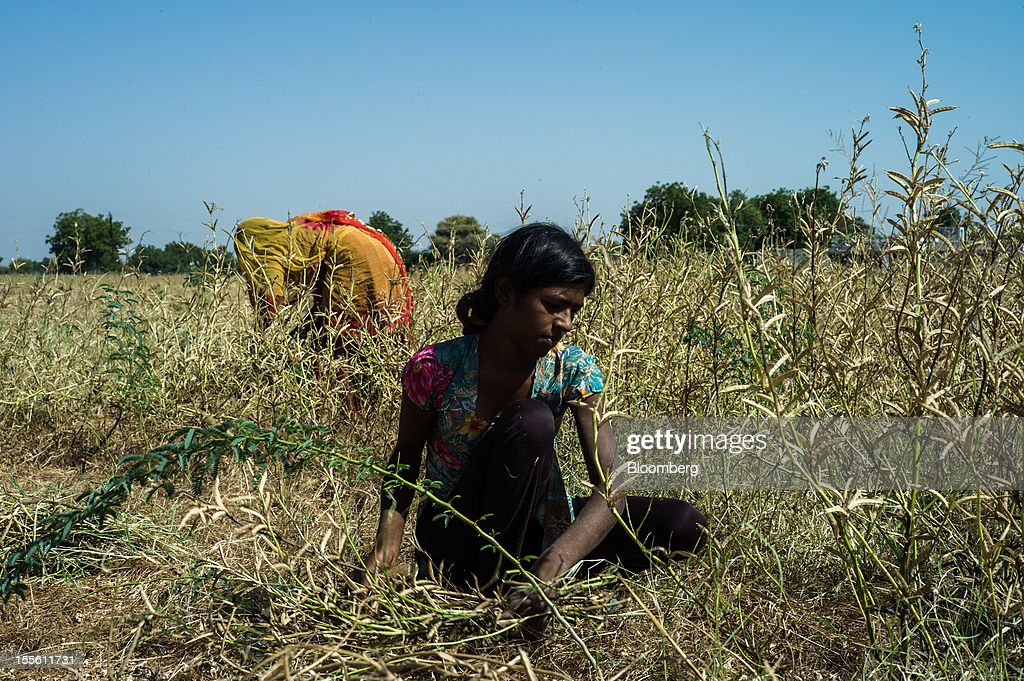 Day laborers harvest guar on a farm in Kirmat Sarai village in the district of Jodhpur in Rajasthan, India, on Sunday, Oct. 28, 2012. Guar gum is used to blend materials used in fracking. Photographer: Sanjit Das/Bloomberg via Getty Images