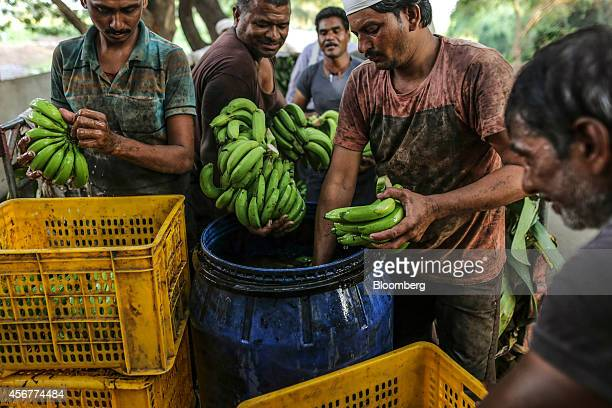 Day laborers wash banana hands in water sanitized with alum before loading them into crates during a harvest in Bhusawal Maharashtra India on...