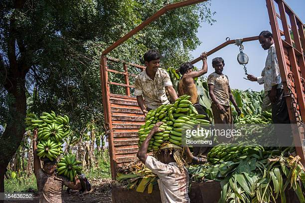 Day laborers weigh and pack bananas in a truck during a harvest in a field in the district of Burhanpur Madhya Pradesh India on Friday Oct 19 2012...