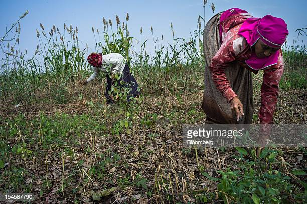 Day laborers work during harvesting at a soybean farm in the district of Burhanpur Madhya Pradesh India on Thursday Oct 18 2012 Global soybean...