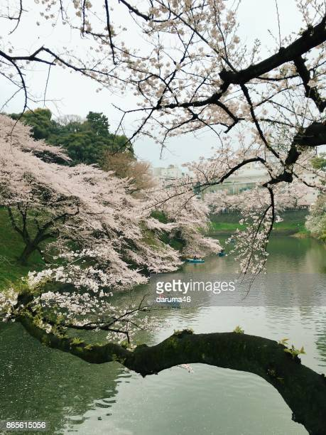 Day View of Cherry Blossoming and Boats by River