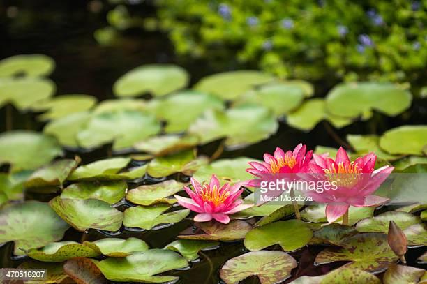 Dayflowering Red Waterlily 'Andreana' Trio