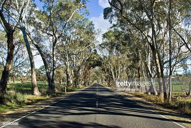 Eucalyptus tree lining lush green farmland along country road.