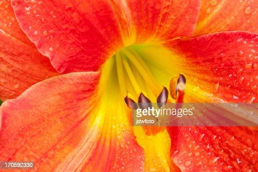 Daylily : Stock Photo