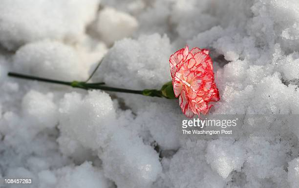 A carnation from a flower arrangement fell into the snow at the funeral for Lisa Robinson the mother of Universirty of Kansas forward Thomas Robinson...