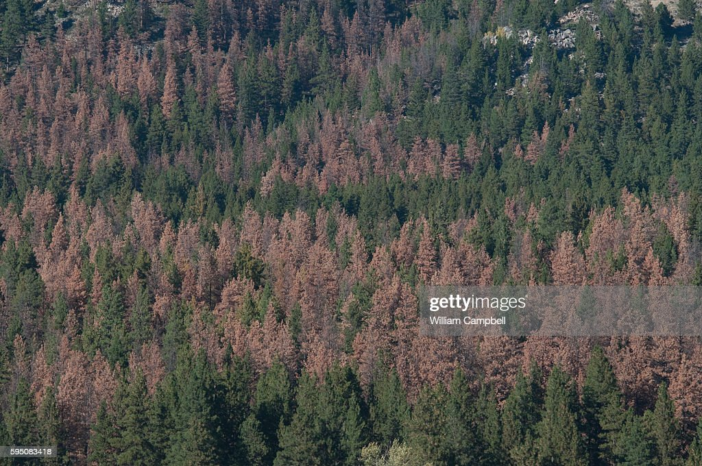 Dead and dying lodgepole pine trees killed by mountain pine beetles in the Helena National Forest Montana Scientists have attributed the current...
