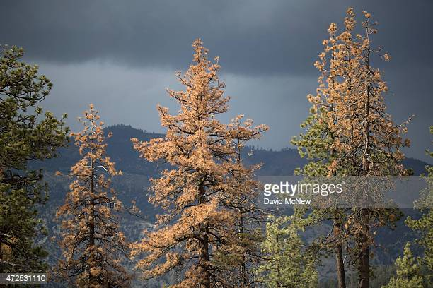 Dead and dying trees are seen in a forest stressed by historic drought conditions in Los Padres National Forest on May 7 2015 near Frazier Park...