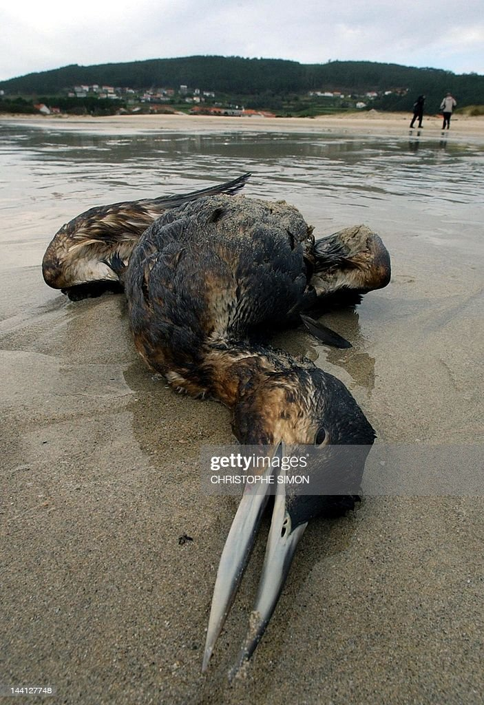 A dead bird covered with oil lies on Langosteria beach 22 November 2002, near Finisterre cap. The amount of oil which has escaped from the wrecked tanker Prestige off Spain's northwestern coast is around twice what the authorities have reported, two environmental groups said Friday. AFP PHOTO Christophe Simon
