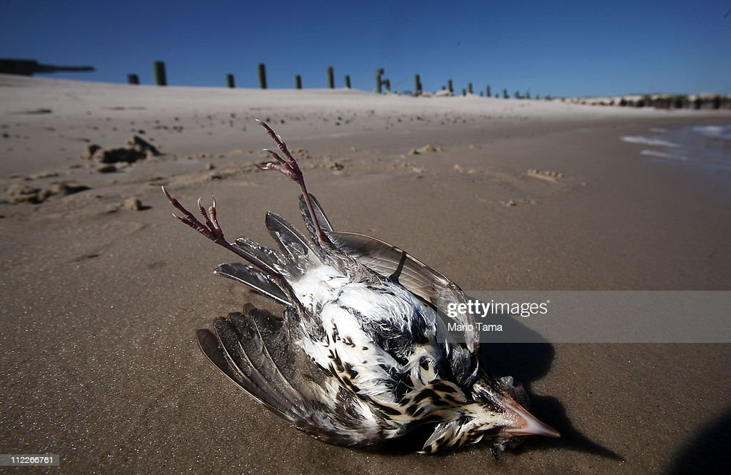 A dead bird is seen on the beach April 16, 2011 in Pass Christian, Mississippi. Some locals believe a higher number than normal of birds are dying in the region due to effects from the BP oil spill. April 20th marks the one-year anniversary of the worst environmental disaster in U.S. history.