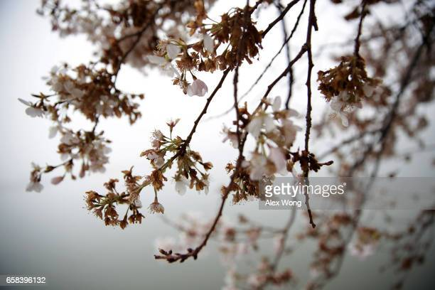 Dead blossoms are seen on peak bloom cherry trees around Tidal Basin March 27 2017 in Washington DC A late winter ice and snowstorm freezed and...