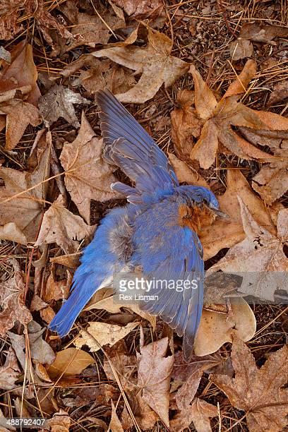 Dead Bluebird on the forest floor
