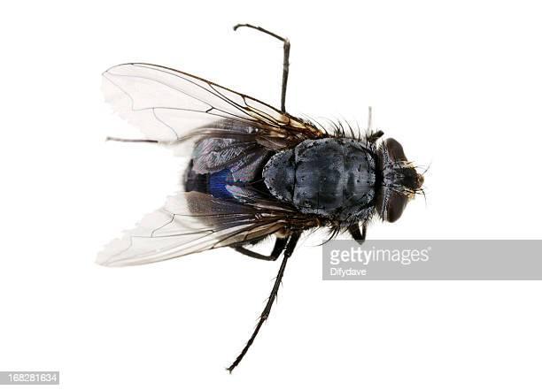 Mosca morta moscone azzurro