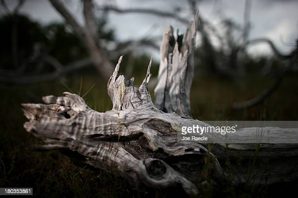 A dead buttonwood tree is seen as mangrove trees grow in their place after the buttonwood over a recent period of time have succumb to salt water...