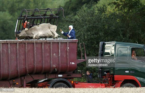 Dead cattle are carried by a loader onto a lorry on a farm near Normandy in Surrey in southeast England 07 August 2007 where a second suspected case...