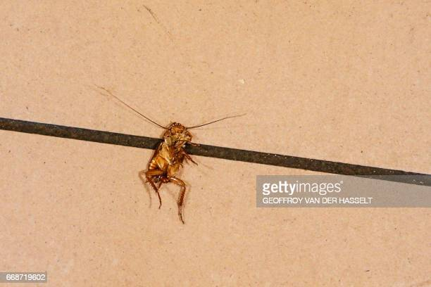 A dead cockroach is seen inside an HLM building that is part of the HLM housing estate of AulnaysousBois a commune in the SeineSaintDenis department...