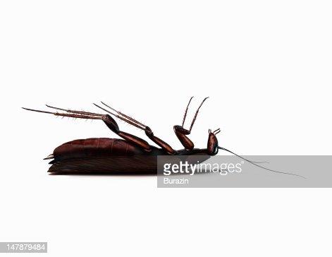 Dead cockroach : Stock Photo