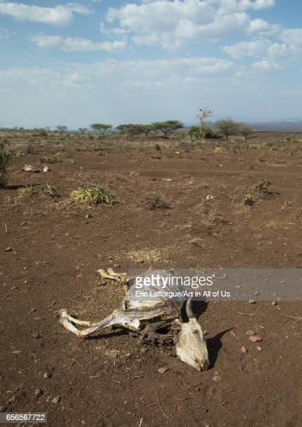 Dead cow during the drought Oromia Yabelo Ethiopia on March 7 2017 in Yabelo Ethiopia