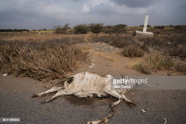 AL HUDAYDAH YEMEN APRIL 19 2017 A dead cow lies beside the main road leading out of the port town of Al Hudaydah Locals tend to avoid dead carcasses...
