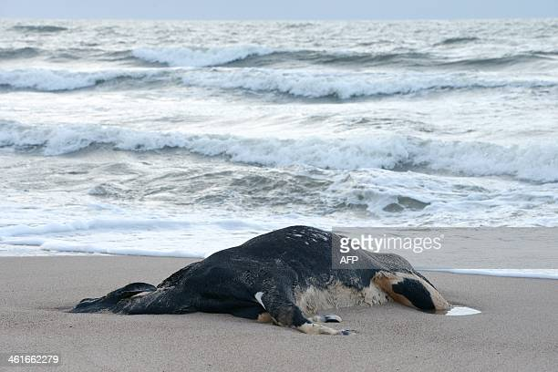 A dead cow lies on the beach on January 10 2014 in Ystad southern Sweden as carcasses of almost a dozen cows have washed ashore in Denmark and Sweden...