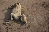A dead cow lies on the ground near the giant Dadaab refugee settlement on July 21 2011 in Dadaab Kenya The refugee camp at Dadaab located close to...