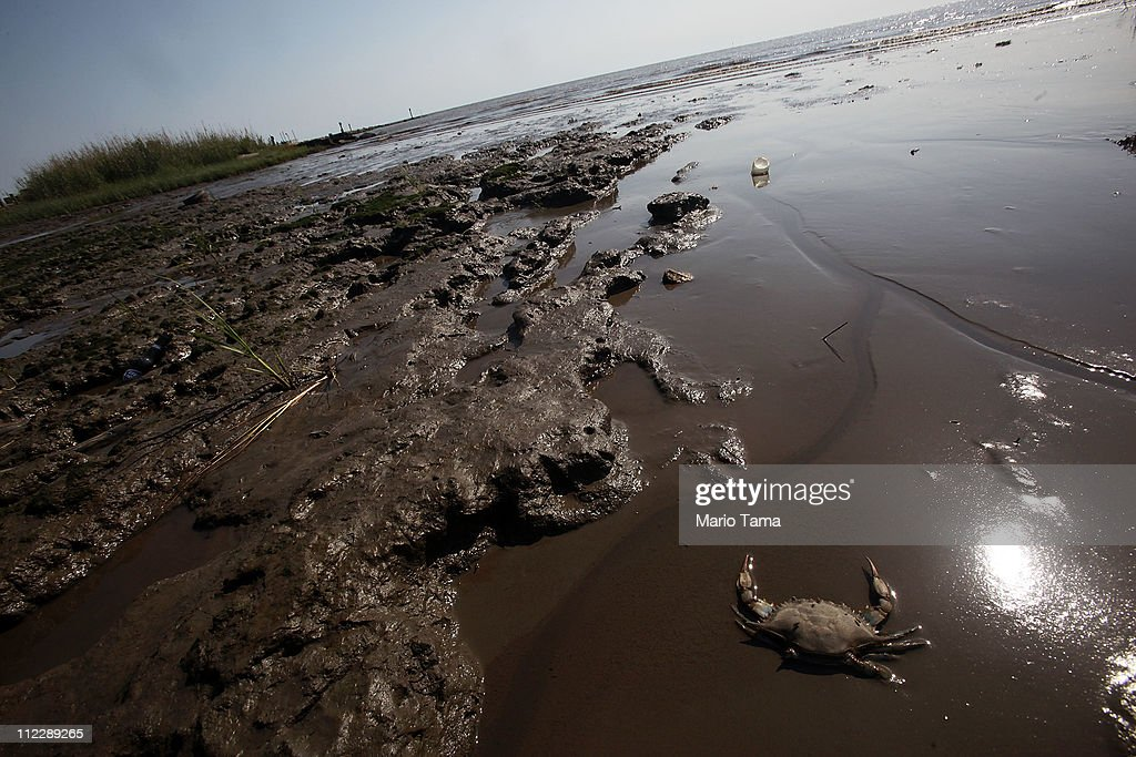 """A dead crab is seen in a piece of marsh ravaged by the effects of the BP oil spill April 17, 2011 in Ocean Springs, Mississippi. Lorrie Williams lives 2 ½ blocks away from the spot and says she has developed a litany of illnesses since the spill that she believes have been caused by exposure to oil dispersants. Following the spill she says she has developed lung polyps along with liver, thyroid and blood problems. Williams says other family members have also developed illnesses including her son Noah, 11, who has upper respiratory problems and can no longer remain outdoors for extended periods without becoming ill. She says after the use of dispersants began in the aftermath of the spill, """"When you walked out the back door it smelled like you had your head in an old gas can. That's how strong it was."""""""
