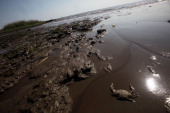 A dead crab is seen in a piece of marsh ravaged by the effects of the BP oil spill April 17 2011 in Ocean Springs Mississippi Lorrie Williams lives 2...
