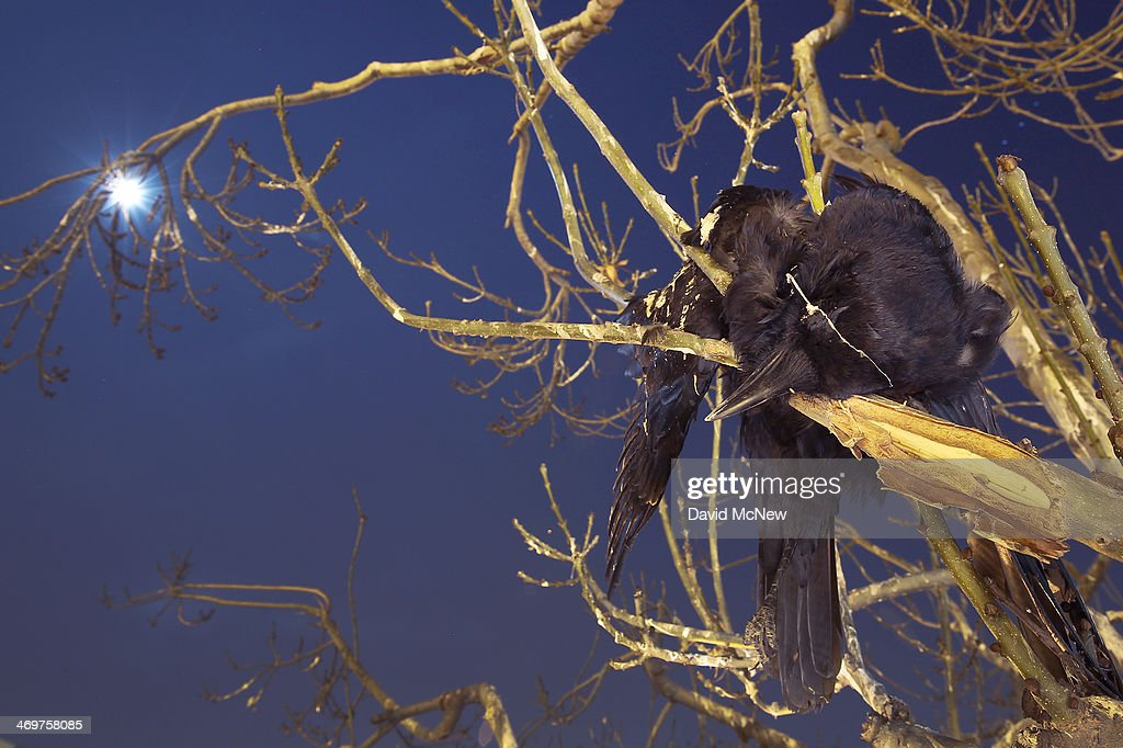 A dead crow lies wedged in a tree as crows gather in large nightly communal roosts after spending the day feeding in surrounding farms on February 13, 2014 in Delano, California. Residents who dislike the sounds and droppings of the many thousands of migrating and local crows have tried multiple unsuccessful tactics to chase them away during winter months when their numbers swell, including the use of strobe lights and sheet metal by the city, blanks shot by local police and a Starbucks store located in the roosting area playing special music to try to keep them away. Despite a third straight year of unprecedented drought, the crows continue to overrun the town nightly. Winter communal crow roosts have continued to rise in towns and cities since the 1960s when the birds first began abandoning traditionally rural roosts.