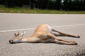 Dead deer by side of road