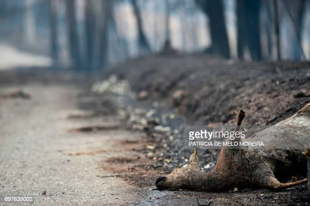 A dead deer lays on the roadside in an area affected by a wildfire at Vila Pedro Figueiro dos Vinhos on June 19 2017 More than 1000 firefighters are...