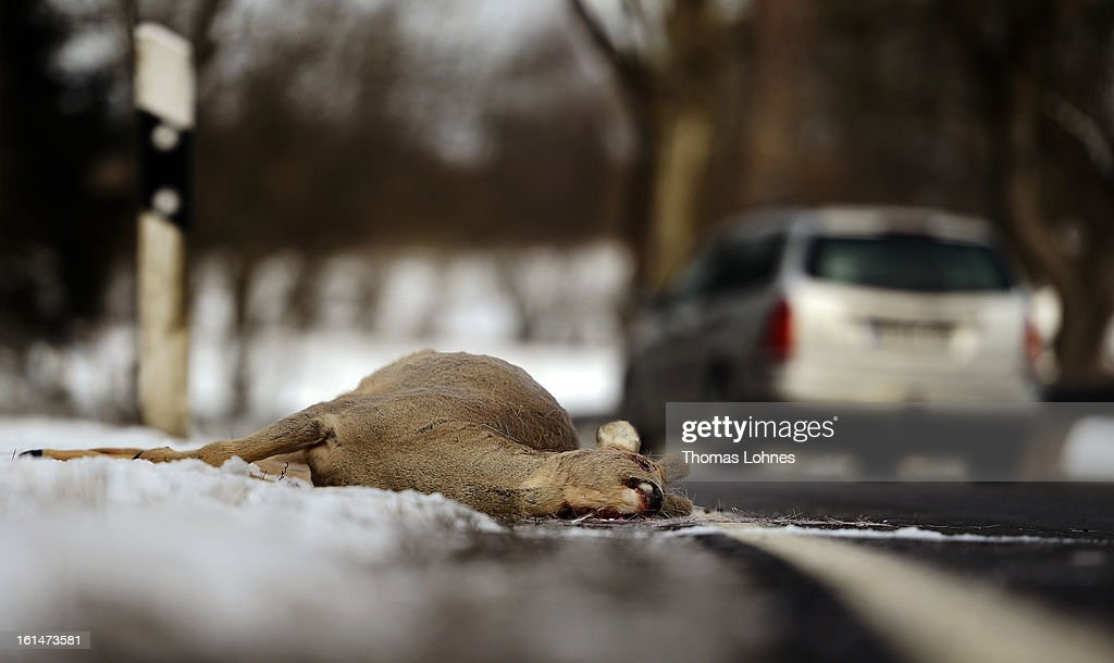 A dead deer lies on the side of a highway after being struck by a car on February 11, 2013 near Herbstein, Germany. Though no precise numbers are available, forestry officials estimate the number of deer and other wild animals, including boars and wolves, have risen significantly in Germany in the last decades.