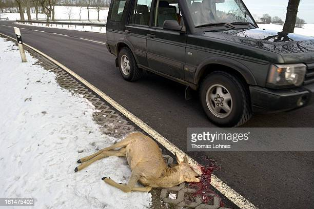A dead deer lies on the side of a highway after being struck by a car on February 11 2013 near Herbstein Germany Though no precise numbers are...