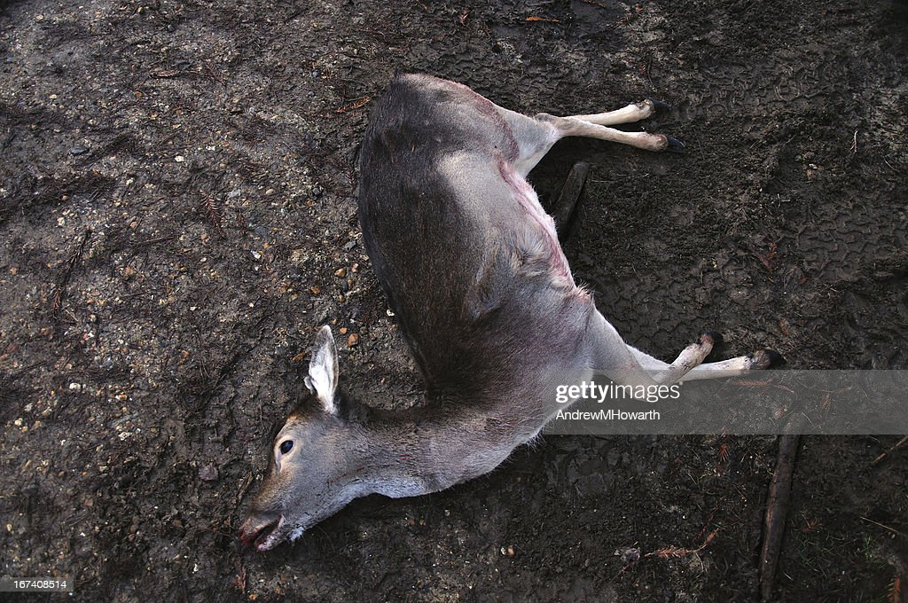 Dead deer on muddy track : Bildbanksbilder
