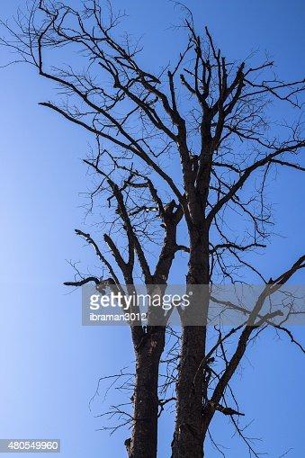 Mortos, secos fora da árvore : Foto de stock
