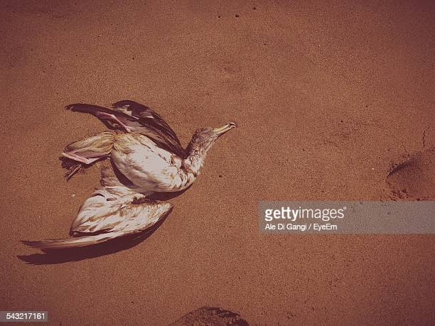 Dead Duck On Sand