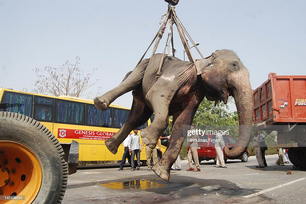 A dead Elephant is lifted from the road near Mahamaya flyover on June 29, 2012 in Noida, India. one Elephant was killed while another was injured when a speeding truck hit them from behind in the morning.