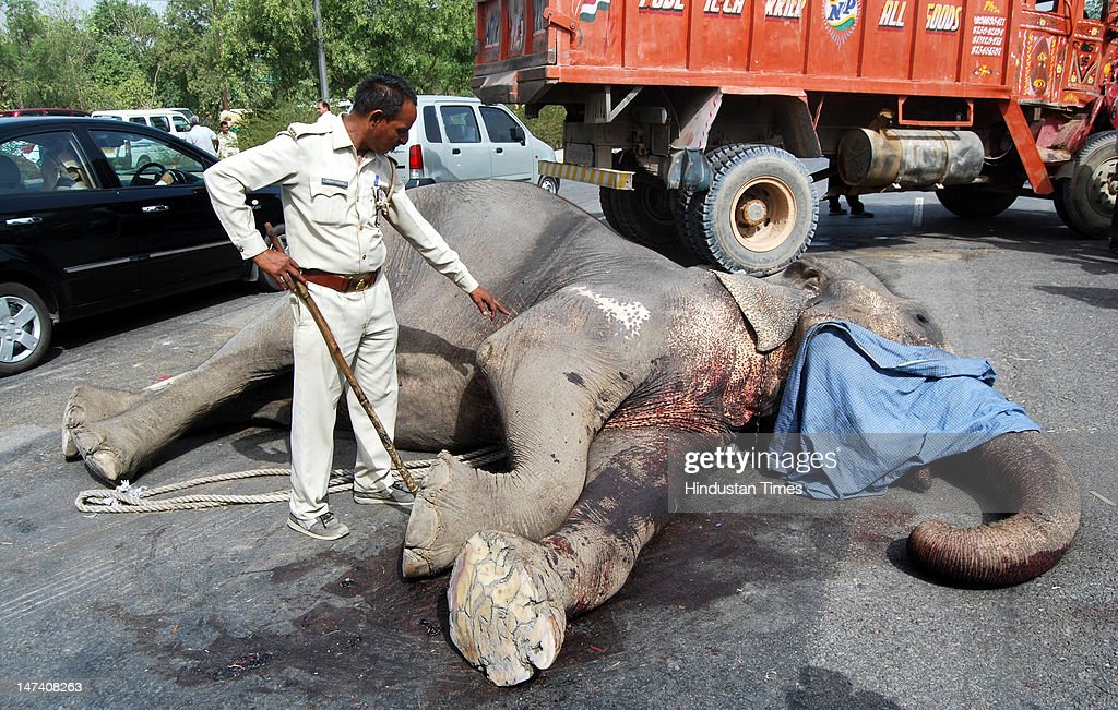 A dead Elephant lies on the road near Mahamaya flyover June 29, 2012 in Noida, India. One Elephant was killed while another was injured when a speeding truck hit them from behind in the morning.