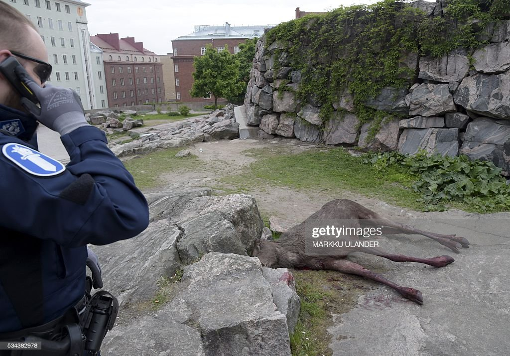 A dead elk is pictured on the site of the Temppeliaukio Church (Rock Church) at the center of Helsinki on May 26, 2016. One year old elk calf was wounded and later shoot by police as it jumped through a window into a bank nearby. / AFP / Lehtikuva / Markku Ulander / Finland OUT