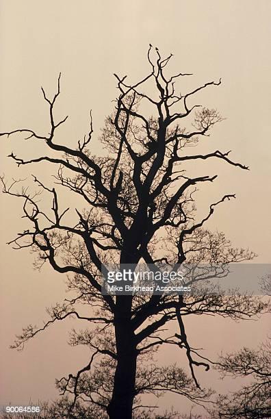 dead elm ulmus procera due to dutch elm disease berkshire