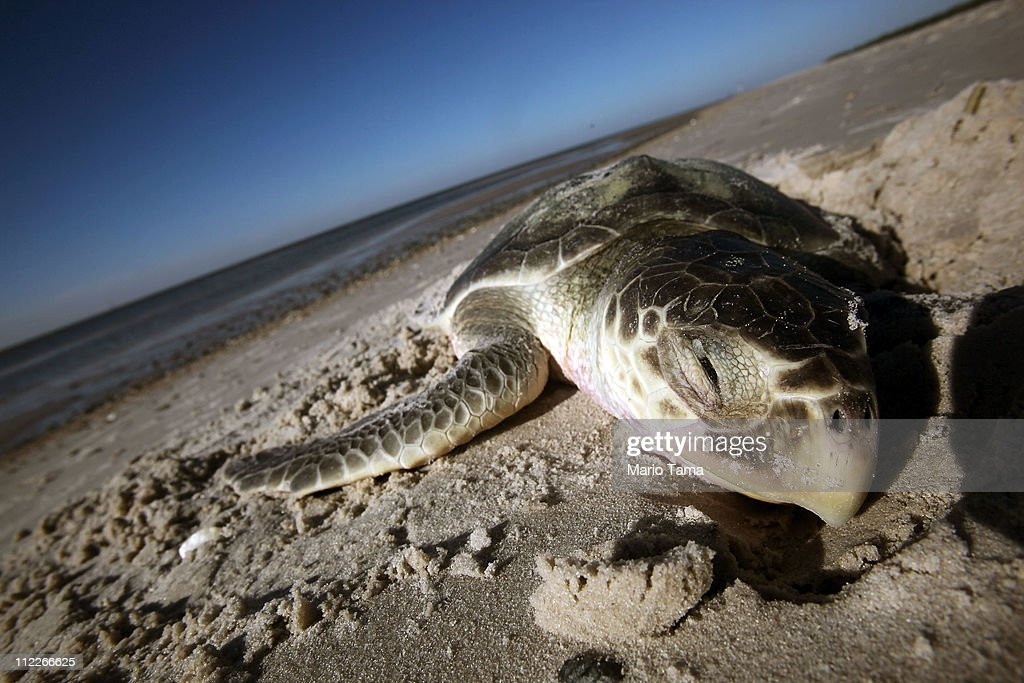 A dead endangered sea turtle is seen after it washed ashore April 16, 2011 in Pass Christian, Mississippi. Local turtle activist Shirley Tillman says she has discovered 20 dead sea turtles in Mississippi in the month of April alone and suspects they are dying due to the effects of the BP oil spill. Endangered sea turtles and dolphins are still dying in high numbers in Mississippi, which continues to be impacted by tar balls and weathered oil. The National Wildlife Federation reports that sea turtle strandings on the Gulf Coast were seven times the normal level in March. April 20th marks the one-year anniversary of the worst environmental disaster in U.S. history.